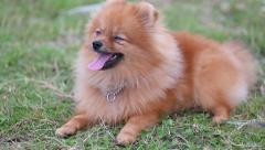 Pomeranian puppy Stock Footage