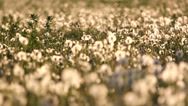 Stock Video Footage of Lady feet step in dandelion field at sunset