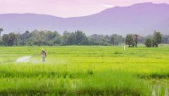 Time lapse farmer scatter fertilizer in rice farm Stock Footage
