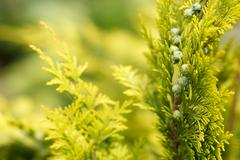Conifer with shallow focus for background Stock Photos