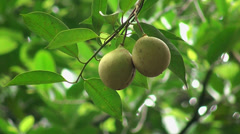 Nutmeg fruits on a tree (Myristica fragrans) - stock footage