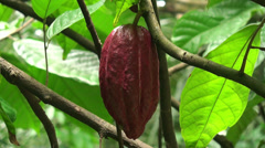 Cacao pods on the tree - stock footage