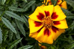 French marigolds - stock photo