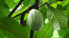 Cacao pods on the tree Stock Footage