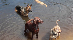 Dogs playing in water Stock Footage