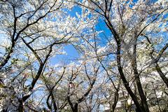 Blossoming cherry trees in an garde - stock photo