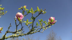 Magnolia tree blossoms Stock Footage