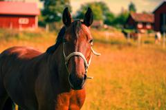 chestnut horse portrait in the warmth of summer - stock photo