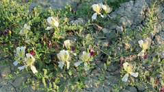 Flowering capers in the wind.  Stock Footage