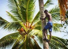 Bentota, sri lanka - apr 26: man on the coconut palm tree trunk on apr 26, 20 Stock Photos