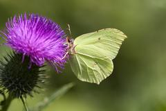 Brimstone - thistle Stock Photos