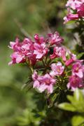 austria, hairy alpine rose, close up - stock photo