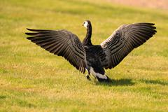 Barnacle goose spreading its wings Stock Photos