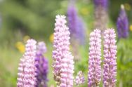 Stock Photo of austria, lupinus angustifolius flowers