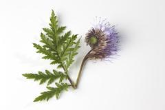 Phacelia flower against white background, close up Stock Photos