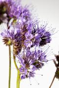 Phacelia flowers against white background, close up Stock Photos