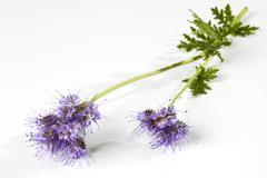 Phacelia flowers against white background, close up Stock Photos