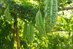 bitter melon growing on a vine in garden. - stock photo