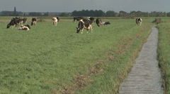 Cows grazing in dutch landscape Stock Footage