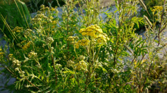 Tansy flowers closeup view Stock Footage