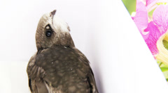 Young common swift Stock Footage
