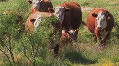 Cattle come to feed truck Stock Footage