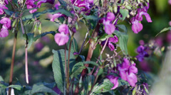 Impatiens glandulifera pink flowers Stock Footage