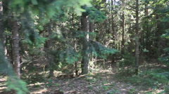 Old forest Stock Footage