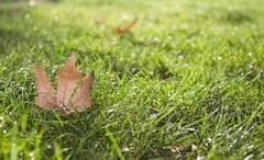Maple leaf on grass Stock Photos