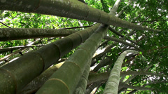Thickets of Giant bamboo Stock Footage
