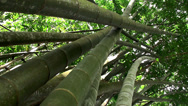 Stock Video Footage of Thickets of Giant bamboo