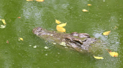 Crocodile in green swamp time lapse Stock Footage