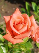 Pink rose blooms in the garden Stock Photos