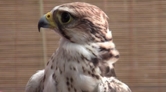 Peregrine Falcon Stock Footage