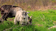 Goats family grazing on a field Stock Footage