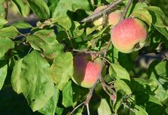 Stock Photo of apple tree with ripe fruit