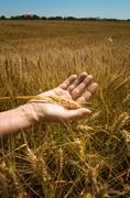 Stock Photo of wheat ears in the hand.