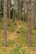 Stock Photo of pine forest path