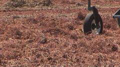 Peanut combine - close Stock Footage