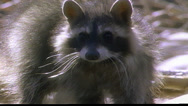 Stock Video Footage of Close-up of Raccoon in stream drinking water