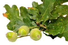 Green Oak Tree Acorns - stock photo