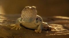 Close-up of Southwest Desert lizard Stock Footage