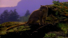 Northwest mountain lion walking and eating Stock Footage