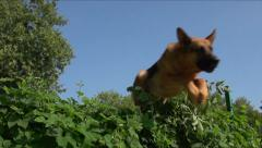 German shepherd jumping over a bush, Slow Motion 1 Stock Footage