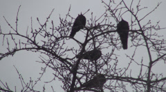 Stock Video Footage of Crows on Snowstorm, Flock of Ravens in Town, District on a Winter Snowy Day