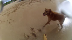 GOLDEN RETRIEVER DOG PLAYING POV WITH STICK IN HAWAII  HD Stock Footage
