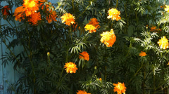 Yellow, orange inflorescences marigold flowers in the garden Stock Footage