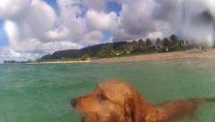 GOLDEN RETRIEVER DOG SWIMMING POV  TO FLOATING STICK IN HAWAII  HD Stock Footage