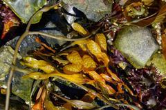 seaweed and kelp - stock photo