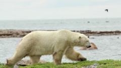 Polar Bear walking on the shore line Stock Footage